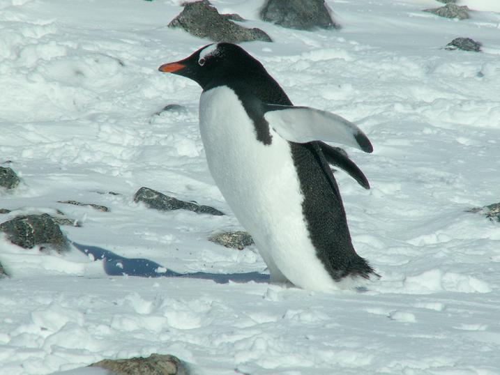 פינגווין GENTOO, אנטרקטיקה