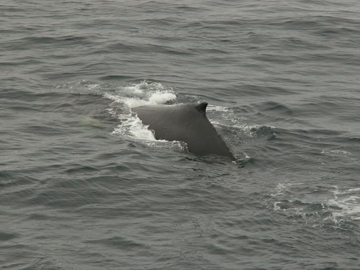 עוד גב של לוויתן