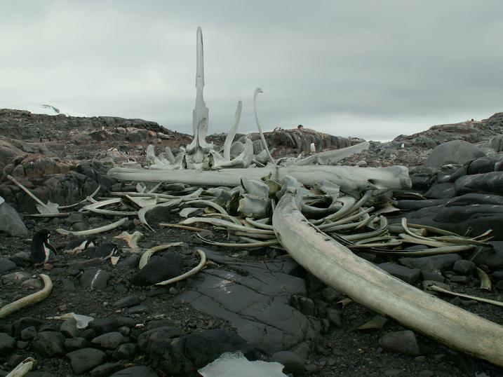 שלד לוויתן כחול, אנטארקטיקה