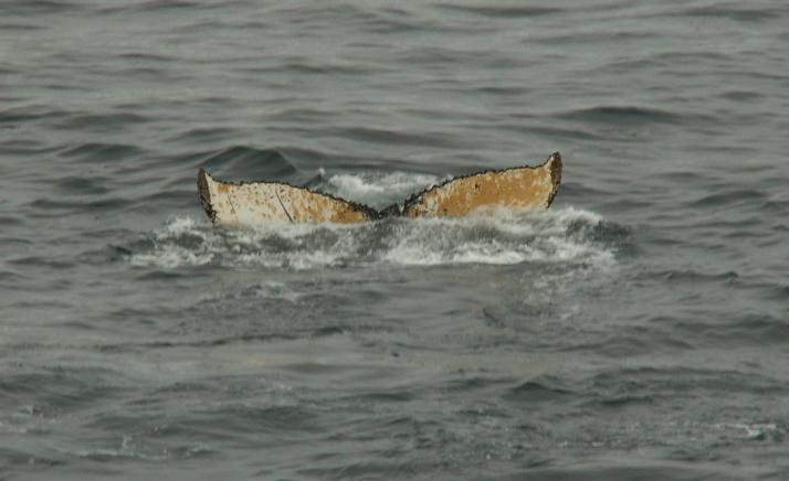 זנב של לוויתן נוסף