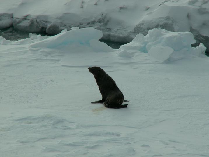 אריה ים אנטיפת, אנטארקטיקה