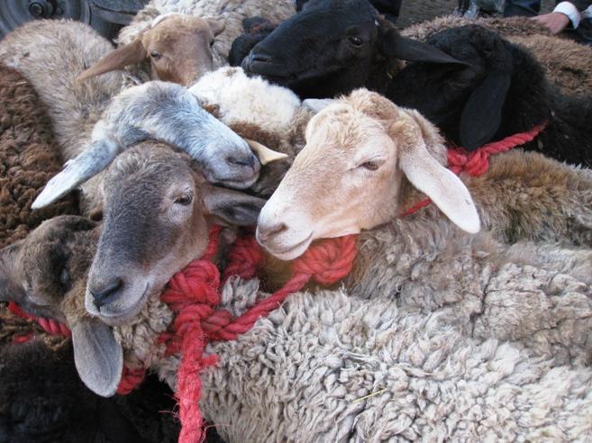 עוד כבשים