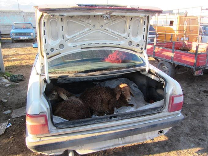 כבשים בבאגז' של בוראט