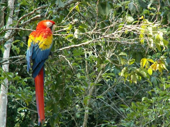 מקאו אדום. הציפור הלאומית שלהם