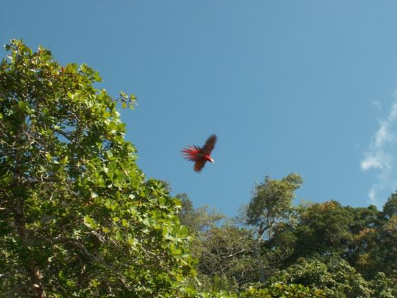 מקאו אדום