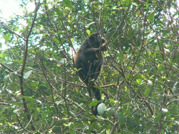קוף שאגן