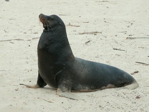 אריה ים בוגר ועצבני בדרכו לרדוף אחר צעירים וחלשים ממנו