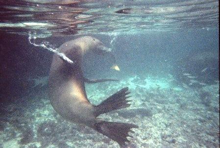 אריה ים תופס לו דג לנשנוש של אחר הצהריים