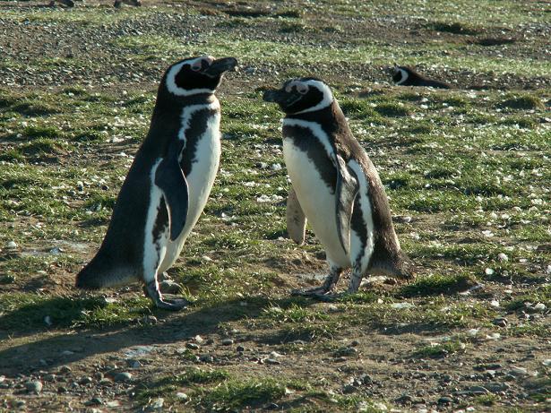 פינגווין וזוגתו