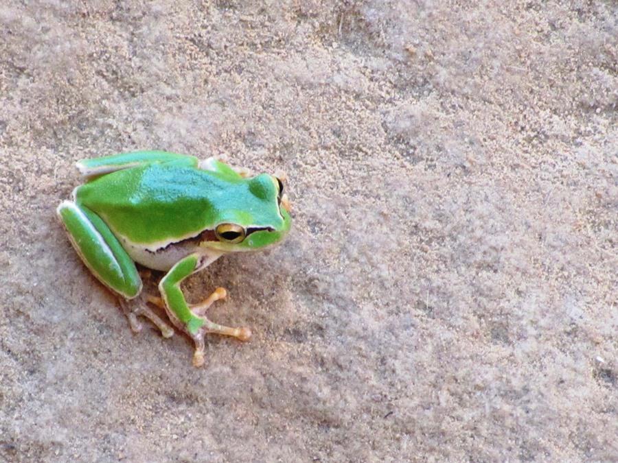 צפרדע בנחל זרד, ירדן