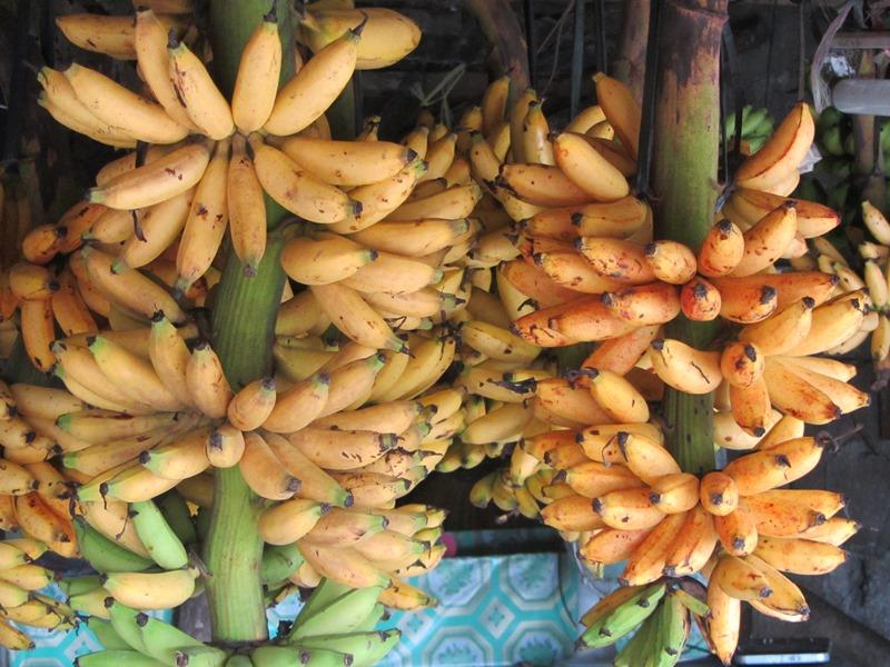 בננות בטאאל, פיליפינים