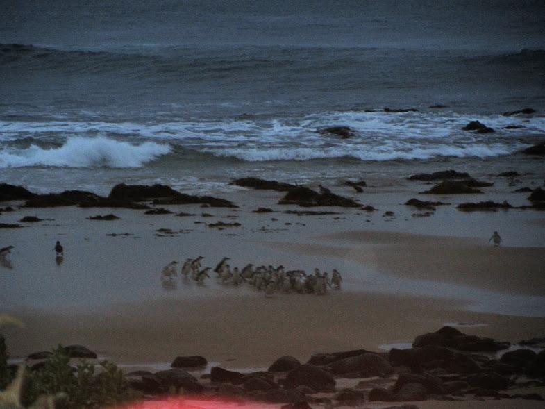 מצעד הפינגווינים, אוסטרליה