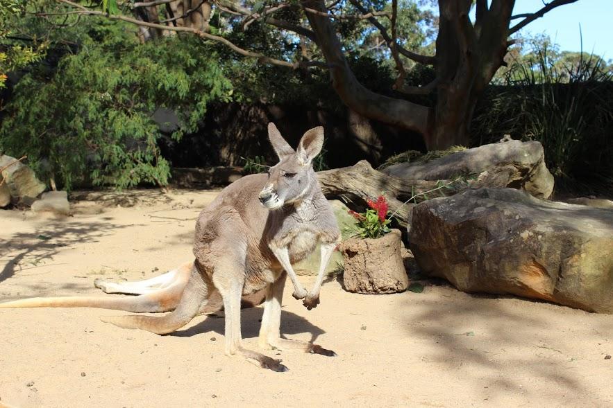 קנגרו אפור, סידני, אוסטרליה