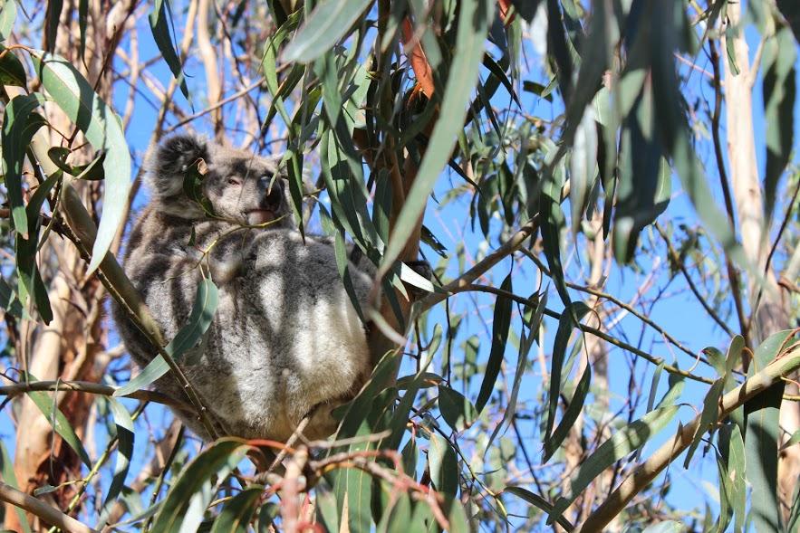 קואלה מנמנמת, קנגרו איילנד, אוסטרליה