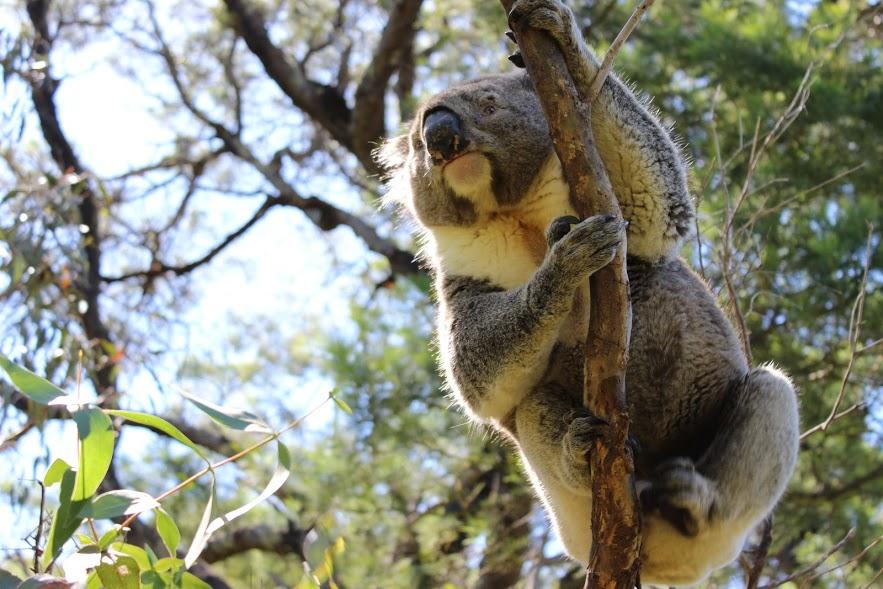 קואלה, אוסטרליה