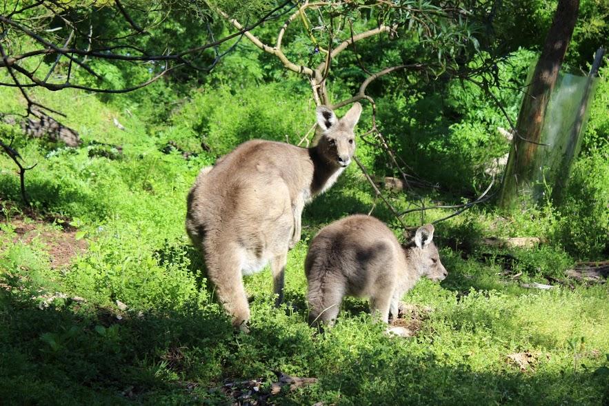 קנגרו אפור, אוסטרליה